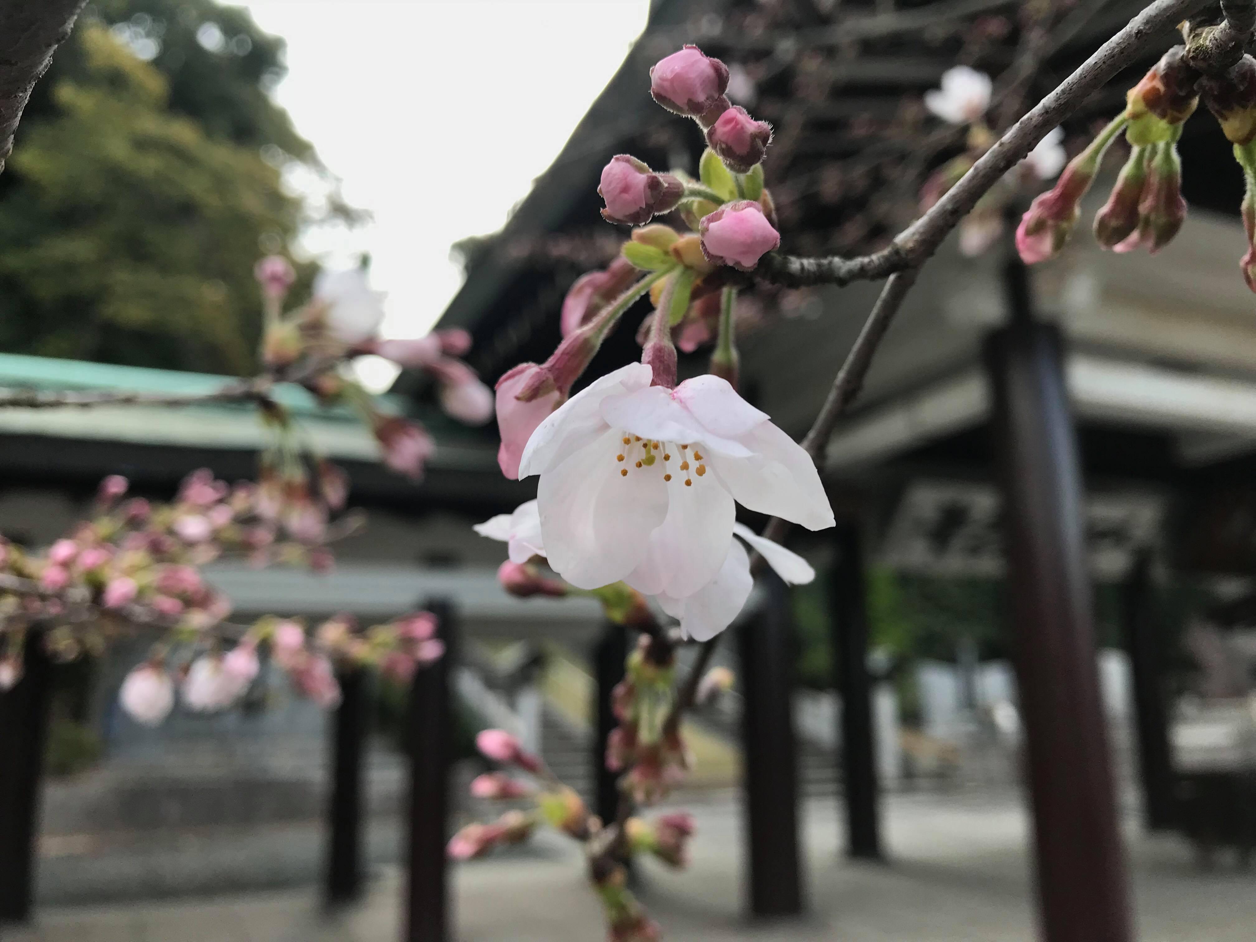 「花は桜木、人は武士」神社の桜が身頃となって